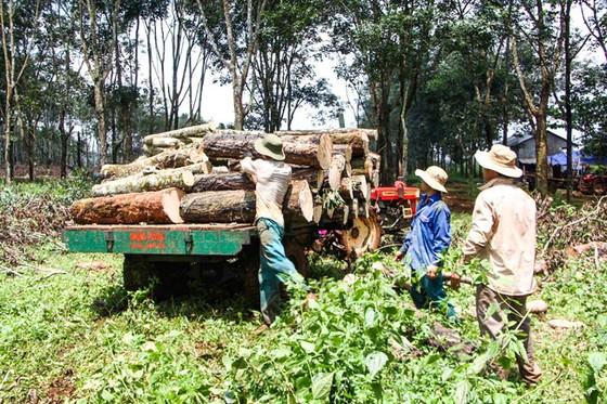 Chủ động nguyên liệu gỗ nội địa ảnh 1