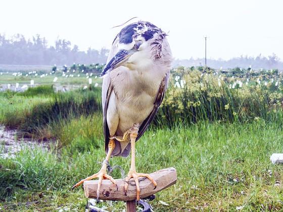 Tận diệt chim cò ảnh 7
