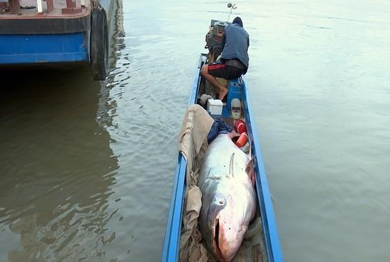 Bắt được cá tra dầu khổng lồ nặng 240kg ảnh 1