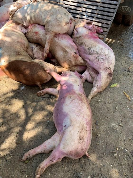 Phát hiện gần 3,5 tấn thịt heo bốc mùi nồng nặc ở cơ sở giết mổ ảnh 6