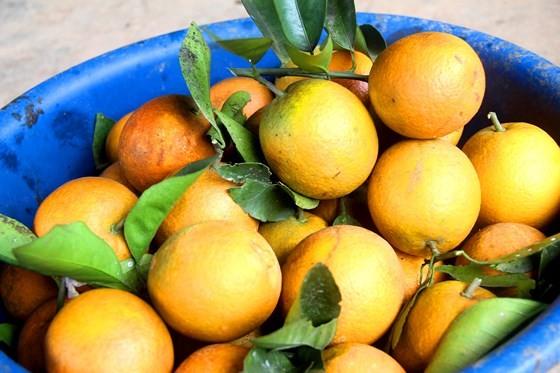 Cuốn hút trang trại cam trĩu quả ở Hà Tĩnh chờ xuất bán dịp Tết Nguyên đán ảnh 14