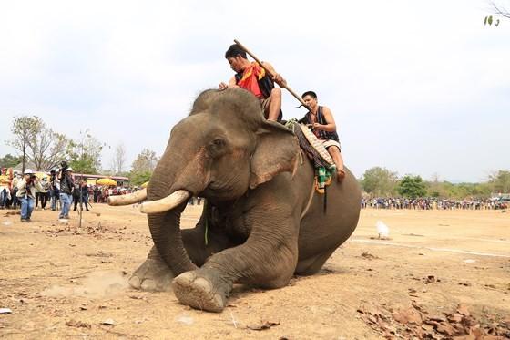 Đến xứ voi xem voi đá bóng ảnh 12