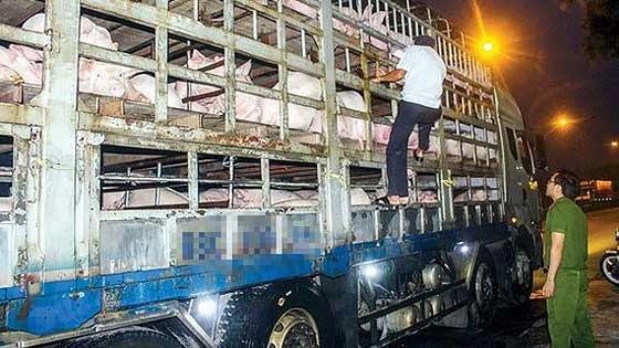 Cơ quan chức năng kiểm tra và khám lâm sàng số heo trên các phương tiện vận chuyển ra vào Thừa Thiên - Huế