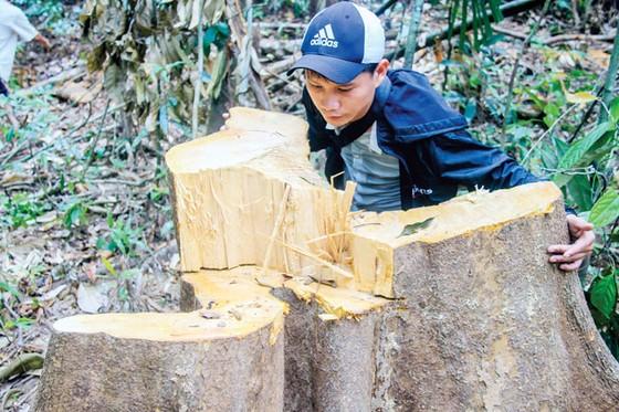 Tan tác rừng phòng hộ sông Tranh ảnh 2