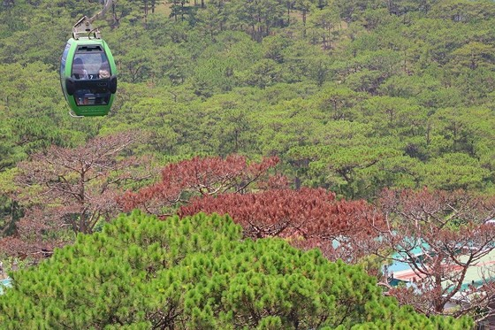 Hàng loạt cây thông ở Đà Lạt bị 'bức tử' trong khu dân cư ảnh 14