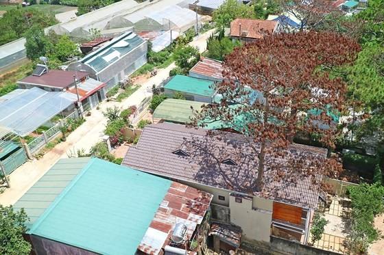 Hàng loạt cây thông ở Đà Lạt bị 'bức tử' trong khu dân cư ảnh 2