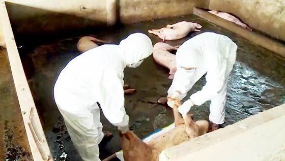 Tái cơ cấu ngành chăn nuôi, chú trọng gia súc ăn cỏ ảnh 1