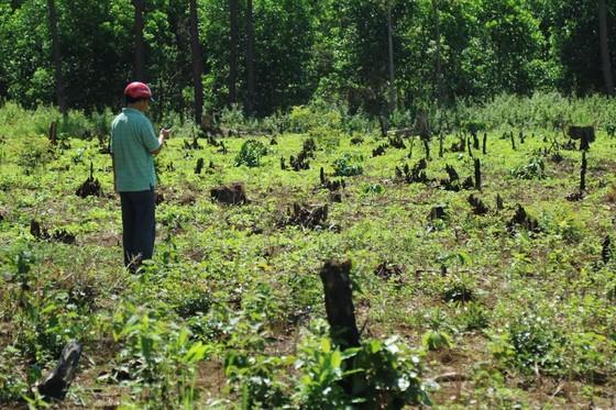 Rừng thông liên tục bị đầu độc ảnh 1