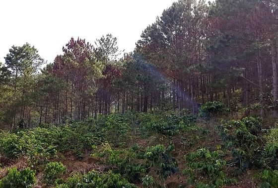 Hơn 670 cây thông bị khoan lỗ, tiêm thuốc độc chờ chết ảnh 2