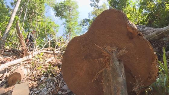 Phát hiện vụ khai thác trái phép gần 200m³ gỗ ảnh 6