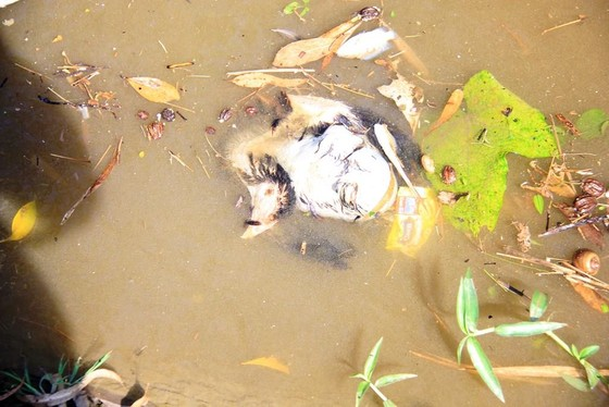 Kinh hoàng cảnh cá chết trắng kênh thủy lợi, nghi nhiễm độc thuốc diệt cỏ ảnh 3
