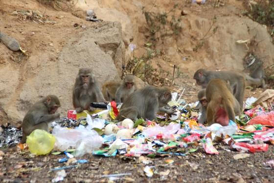Báo động tình trạng khỉ trên bán đảo Sơn Trà thay đổi tập tính ảnh 1