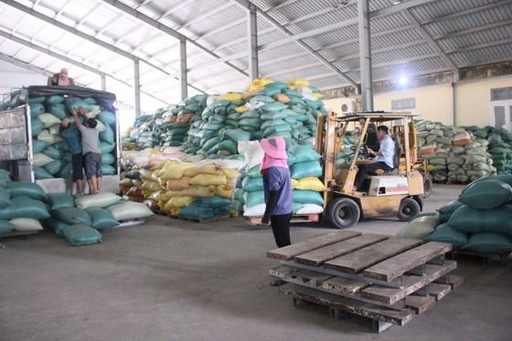 Nông dân Quảng Trị hối hả thu hoạch lúa sau khi lũ rút ảnh 2