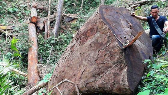 Để lâm tặc khai thác hơn 164m3 gỗ, 9 lãnh đạo, nhân viên ban quản lý rừng bị khiển trách ảnh 1