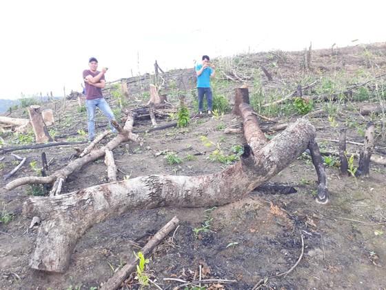 Gia Lai điều tra việc phá rừng để trồng rừng ảnh 2