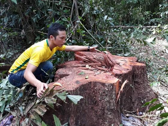 """Phát hiện 14 cây cổ thụ bị """"xẻ thịt"""" gần trạm kiểm soát cửa rừng  ảnh 1"""