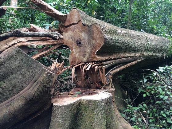 """Phát hiện 14 cây cổ thụ bị """"xẻ thịt"""" gần trạm kiểm soát cửa rừng  ảnh 2"""