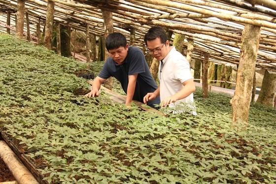 Kon Tum: Chính thức bán sản phẩm Quốc bảo sâm Ngọc Linh ra thị trường ảnh 2