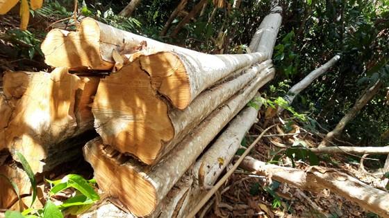 """Khởi tố vụ cất giấu hàng chục m³ gỗ lậu ngay """"sát nách"""" kho gỗ ảnh 1"""