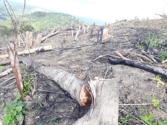 Ba đối tượng vào biên giới chặt phá hơn 1,2ha rừng trồng phòng hộ ảnh 1