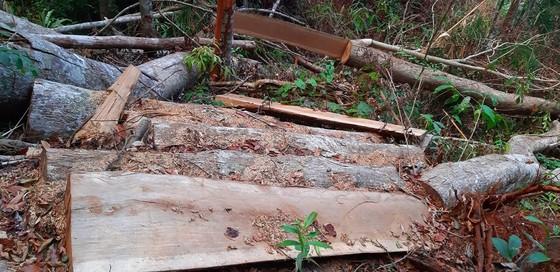 """Tận thấy gỗ 'khủng lồ"""" bị cưa hạ ngổn ngang ở Kon Tum  ảnh 2"""