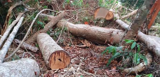 """Tận thấy gỗ 'khủng lồ"""" bị cưa hạ ngổn ngang ở Kon Tum  ảnh 1"""