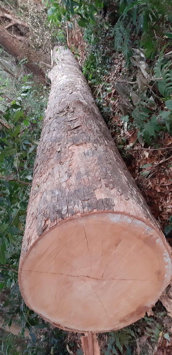 """Tận thấy gỗ 'khủng lồ"""" bị cưa hạ ngổn ngang ở Kon Tum  ảnh 6"""