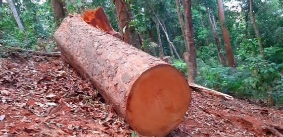 """Tận thấy gỗ 'khủng lồ"""" bị cưa hạ ngổn ngang ở Kon Tum  ảnh 8"""