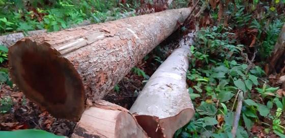 """Tận thấy gỗ 'khủng lồ"""" bị cưa hạ ngổn ngang ở Kon Tum  ảnh 3"""