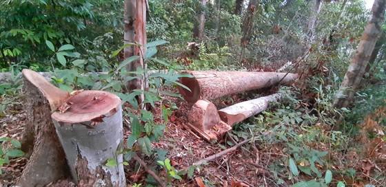 """Tận thấy gỗ 'khủng lồ"""" bị cưa hạ ngổn ngang ở Kon Tum  ảnh 4"""