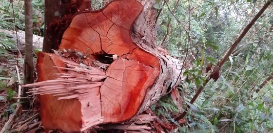 """Tận thấy gỗ 'khủng lồ"""" bị cưa hạ ngổn ngang ở Kon Tum  ảnh 10"""
