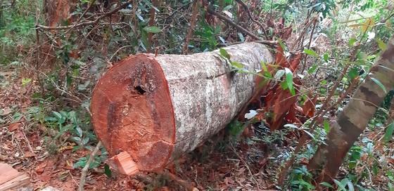 """Tận thấy gỗ 'khủng lồ"""" bị cưa hạ ngổn ngang ở Kon Tum  ảnh 12"""