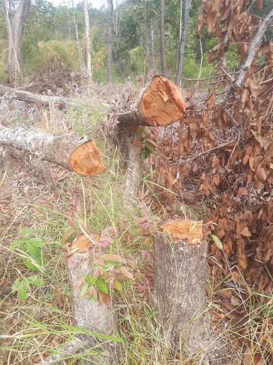 Bắt 1 đối tượng liên quan trong vụ chặt phá hơn 7,3ha rừng khu vực biên giới ảnh 1