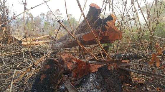 Cục Kiểm lâm chỉ đạo kiểm tra vụ phá rừng ở vành đai biên giới Ia O  ảnh 2