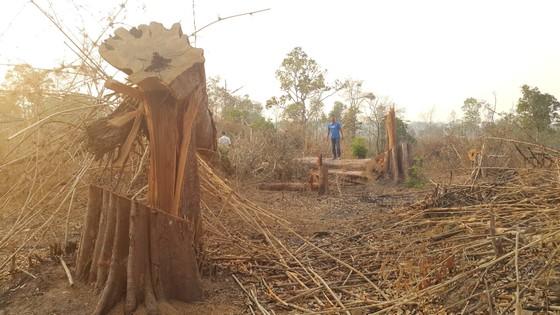 Cục Kiểm lâm chỉ đạo kiểm tra vụ phá rừng ở vành đai biên giới Ia O  ảnh 1