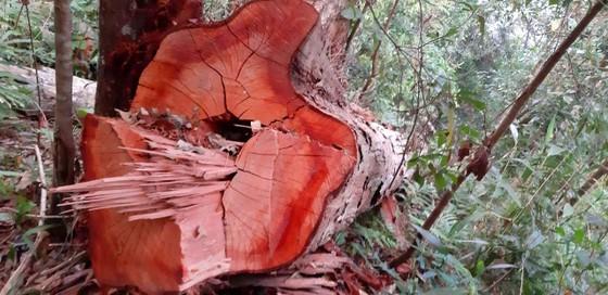 """Yêu cầu kiểm điểm trách nhiệm liên quan vụ gỗ """"khủng lồ"""" bị đốn hạ ở Kon Tum  ảnh 2"""