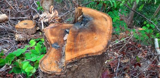 2 trạm bảo vệ rừng chốt 2 đầu, lâm tặc vẫn ngang nhiên phá rừng cổ thụ ảnh 8