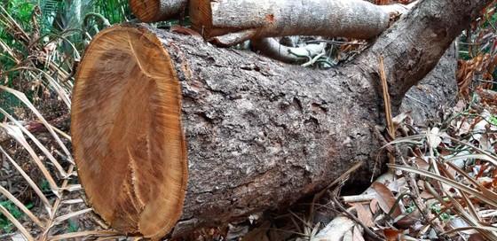 2 trạm bảo vệ rừng chốt 2 đầu, lâm tặc vẫn ngang nhiên phá rừng cổ thụ ảnh 10