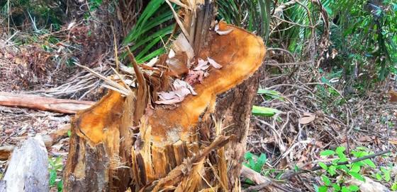 2 trạm bảo vệ rừng chốt 2 đầu, lâm tặc vẫn ngang nhiên phá rừng cổ thụ ảnh 12