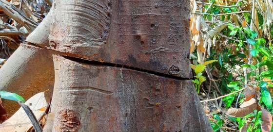 2 trạm bảo vệ rừng chốt 2 đầu, lâm tặc vẫn ngang nhiên phá rừng cổ thụ ảnh 13
