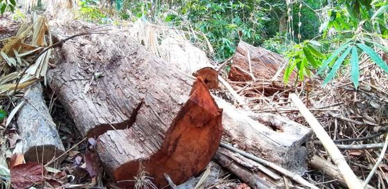 2 trạm bảo vệ rừng chốt 2 đầu, lâm tặc vẫn ngang nhiên phá rừng cổ thụ ảnh 18