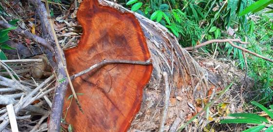 2 trạm bảo vệ rừng chốt 2 đầu, lâm tặc vẫn ngang nhiên phá rừng cổ thụ ảnh 19