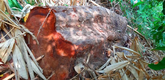 2 trạm bảo vệ rừng chốt 2 đầu, lâm tặc vẫn ngang nhiên phá rừng cổ thụ ảnh 20