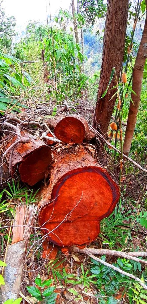 2 trạm bảo vệ rừng chốt 2 đầu, lâm tặc vẫn ngang nhiên phá rừng cổ thụ ảnh 26