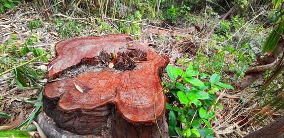 2 trạm bảo vệ rừng chốt 2 đầu, lâm tặc vẫn ngang nhiên phá rừng cổ thụ ảnh 27