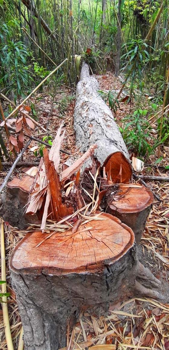 2 trạm bảo vệ rừng chốt 2 đầu, lâm tặc vẫn ngang nhiên phá rừng cổ thụ ảnh 25