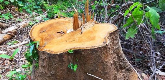 2 trạm bảo vệ rừng chốt 2 đầu, lâm tặc vẫn ngang nhiên phá rừng cổ thụ ảnh 3