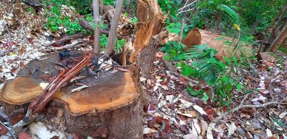 2 trạm bảo vệ rừng chốt 2 đầu, lâm tặc vẫn ngang nhiên phá rừng cổ thụ ảnh 6