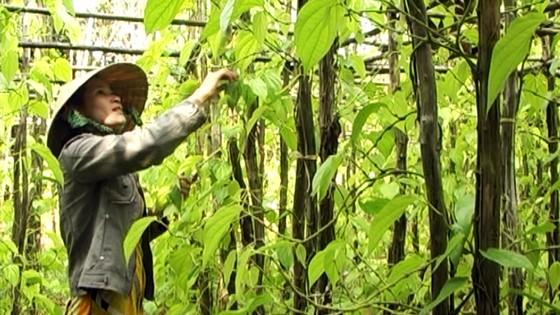 Lá trầu xuất khẩu sang Trung Quốc được giá, người trồng lãi cao ảnh 2