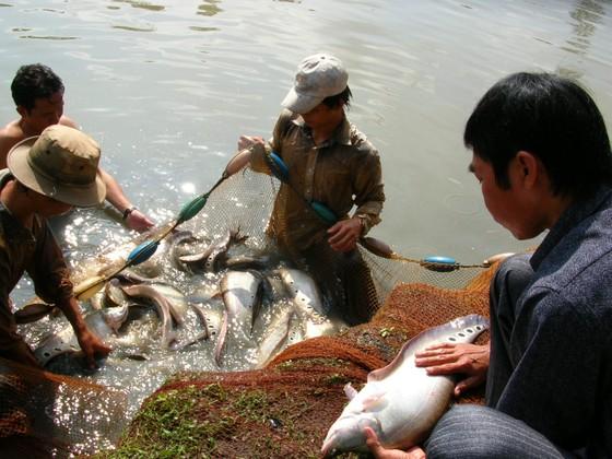 Hậu Giang: Nuôi cá thát lát lợi nhuận cao ảnh 1